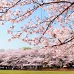 The 10 Best Places to See Cherry Blossom in Kyoto, Japan