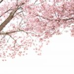 The 10 Best Places to See Cherry Blossom in Okinawa, Japan
